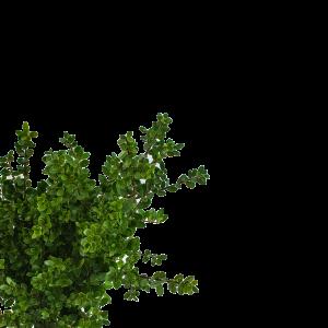 i-LEXIT! altijd groene haag, geen last van buxusrups. Weinig of geen last van schimmelziekten.